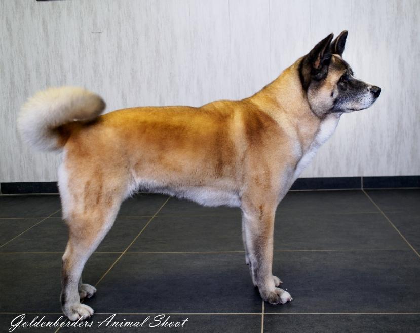Akita inu-14