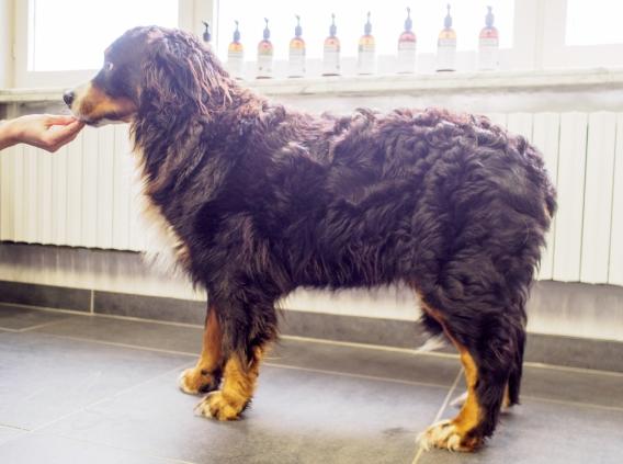 Berner Sennenhond-1-2