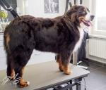 Berner Sennenhond-6