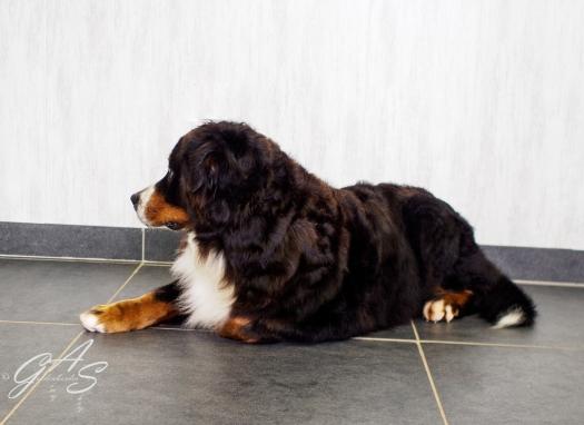 Berner Sennenhond-8