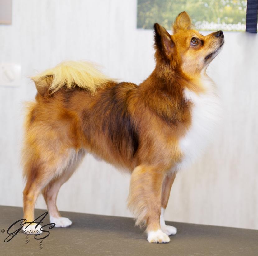 X Chihuahua - Vlinderhondje-1-5