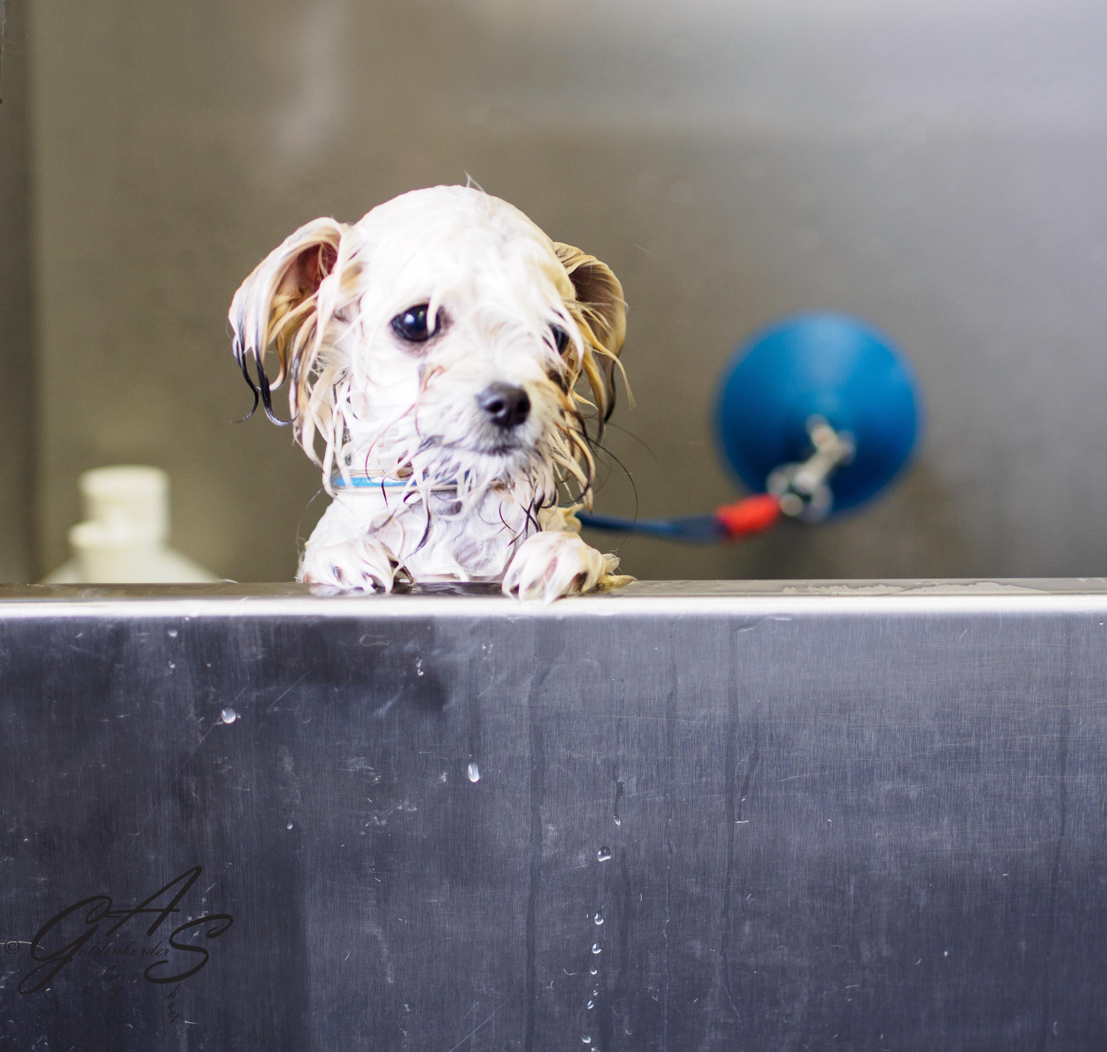 malchi  x maltezer  u2013 chihuahua   u2013 welkom bij goldenborders hondenverzorging