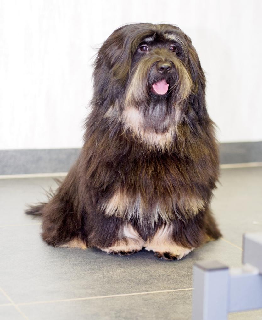 Tibetaanse terrier-1-2