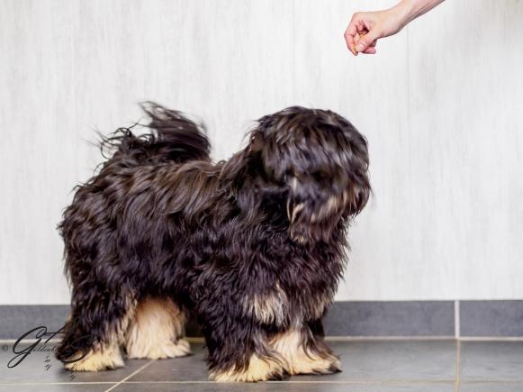 Tibetaanse terrier-2