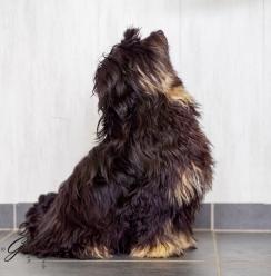 Tibetaanse terrier-3