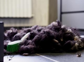 Tibetaanse terrier-5