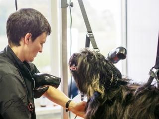 Tibetaanse terrier-7