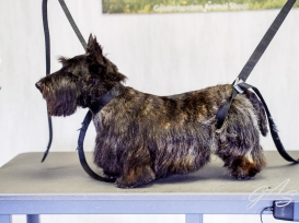 schotse-terrier-2-van-6
