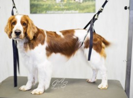 Welsh Springer Spaniel-Nyo (1 van 3) (Small)