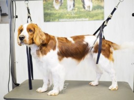 Welsh Springer Spaniel-Nyo (2 van 3) (Small)