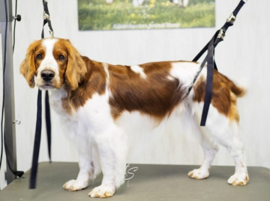 Welsh Springer Spaniel-Nyo (3 van 3) (Small)